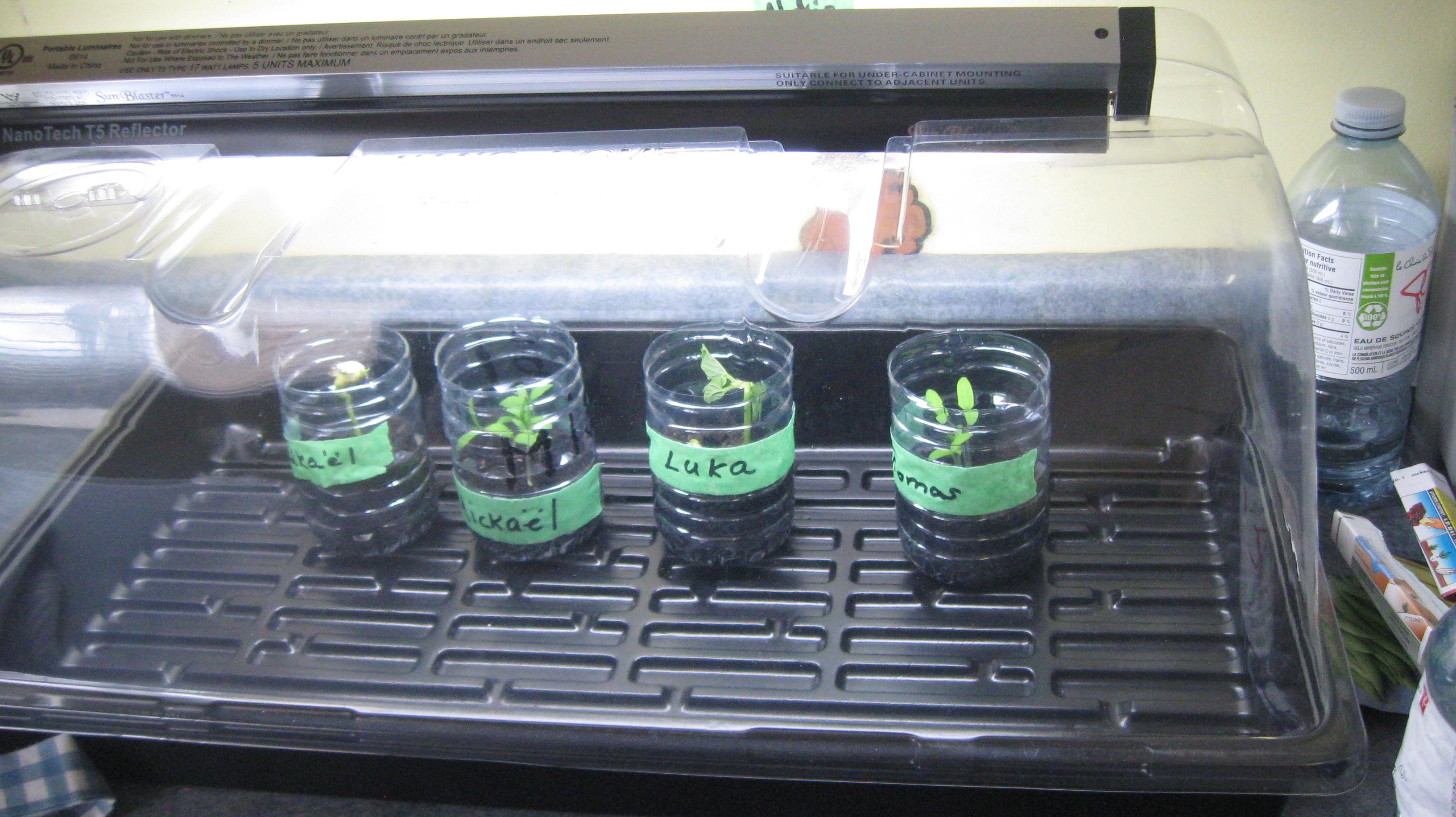 BSa germination 5.JPG